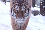 Кировский ветеринар прооперировал тигрицу из Хабаровска.